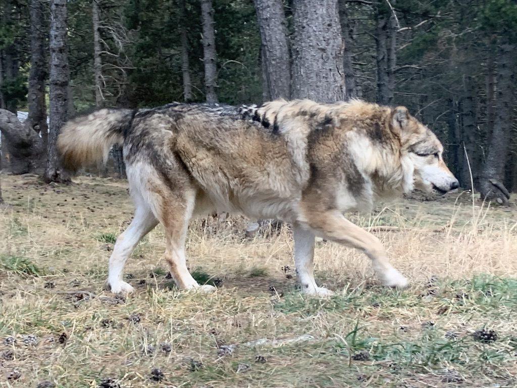 Loup en Andorre