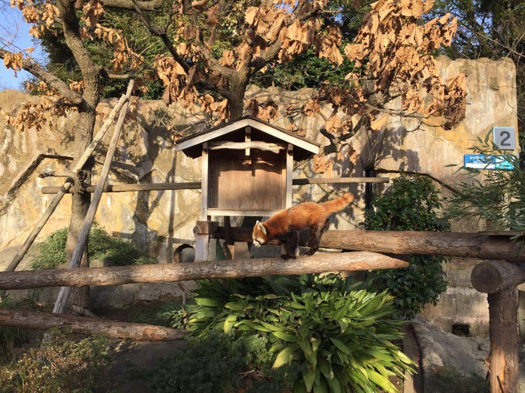 Panda roux dans le parc zoologique de Nogeyama